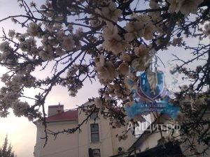Частный дом в Севастополе. Цветет миндаль